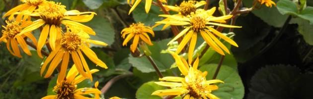 Ligulaire en fleurs