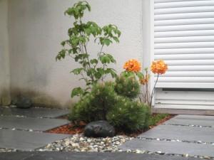 Cornus florida rubra et azalée mollis