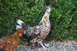 Huguette ( poule millefleurs )