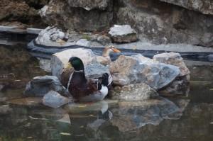 Nos beaux canards